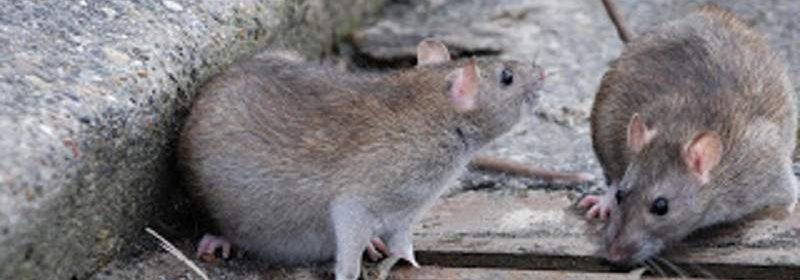 infestazione di topi